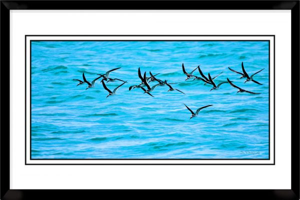 1x2-picture-frame-black-with-Black-Skimmers-In-Flight