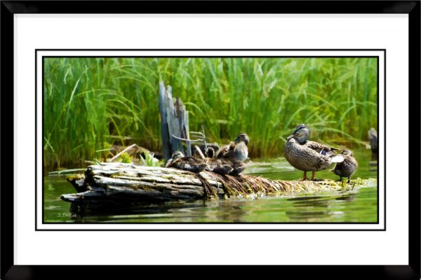 1x2-picture-frame-black-with-Mallard-Family-Outing
